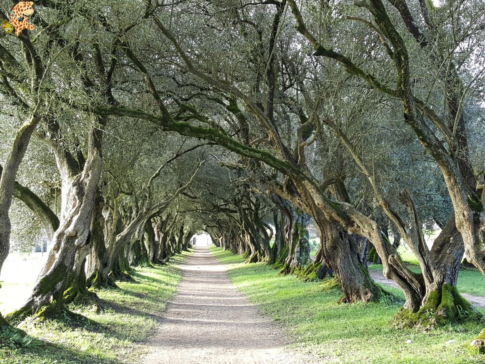 Pazo de Rivadulla y su magnífico paseo de olivos (Vedra)